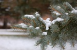 snow sprayed pine branch