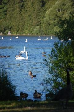 Swans Galore on Boardman Lake