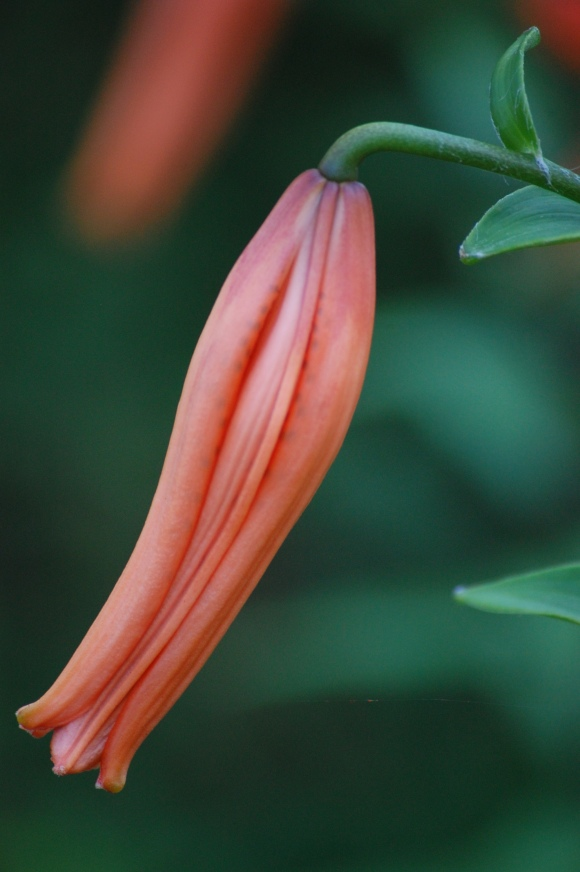 Tiger Lily Bud