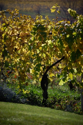 Grape Vines @ Chateau Chantal