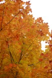 Golden Maple
