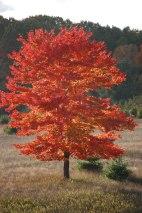 Fiery Red Tree