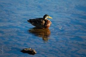duck_water_ripples_sun
