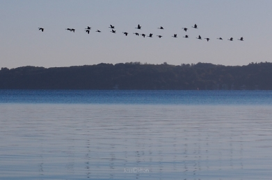 lake_michigan_ducks_migrate