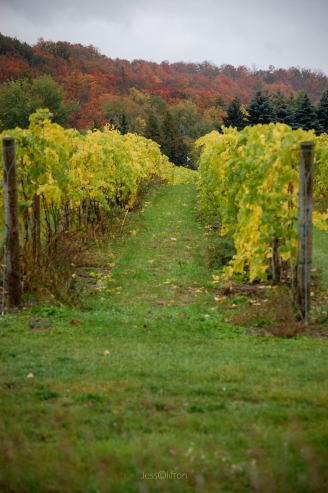 Fall_Vineyard_Aisle