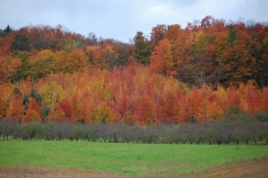 Orange_Autumn_Trees