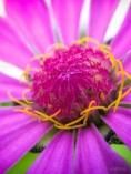 Young Zinnia Blossom