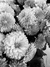 2-black_and_white_mums