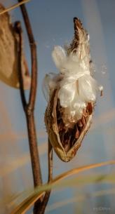Sunlit Milkweed Pod