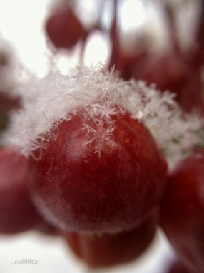Berries Snow Macro
