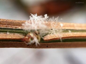 Snowflake Branch