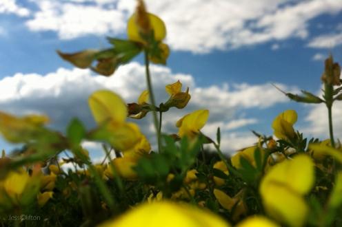 Blue Sky Yellow Wildflowers