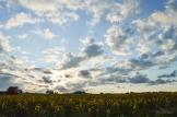 Big Sky Sunflower Field