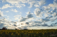 Big Sky Sunflower Field