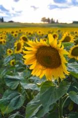 Sunflower One Among Many
