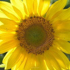 Sunflower Sacred Geometry