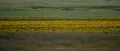 Sunflowers in Tall Grass