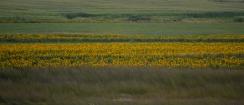 Sunflowers in Tall Grass