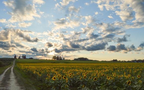 Sunflowers Sky & a Two-Track