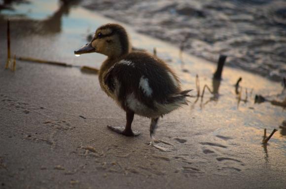 baby duck mallard